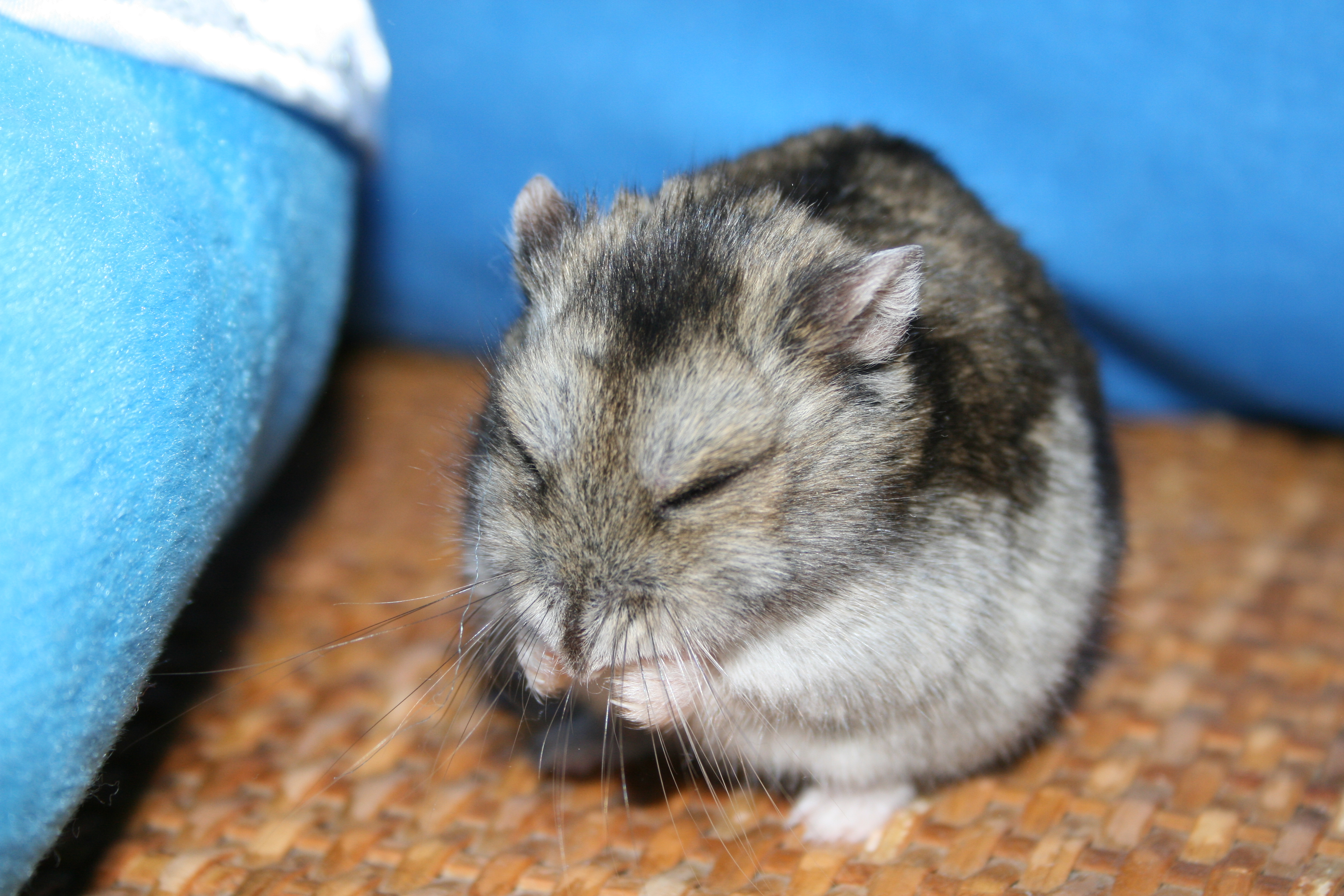 画像 : 愛すべきジャンガリアンハムスター 飼育のコツとかわいい画像